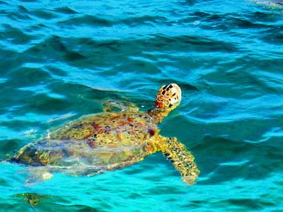 Turtle on Derawan Island, Indonesia