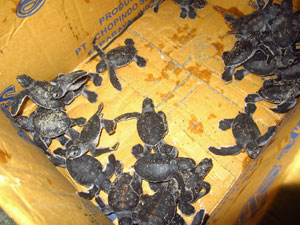 Newly hatched turtles on Derawan Island, Indonesia
