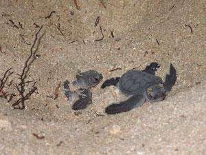 Turtles hatching Derawan, Indonesia