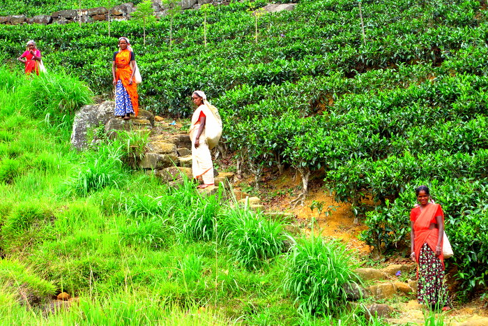 Ella, Sri Lanka Tea Pickers