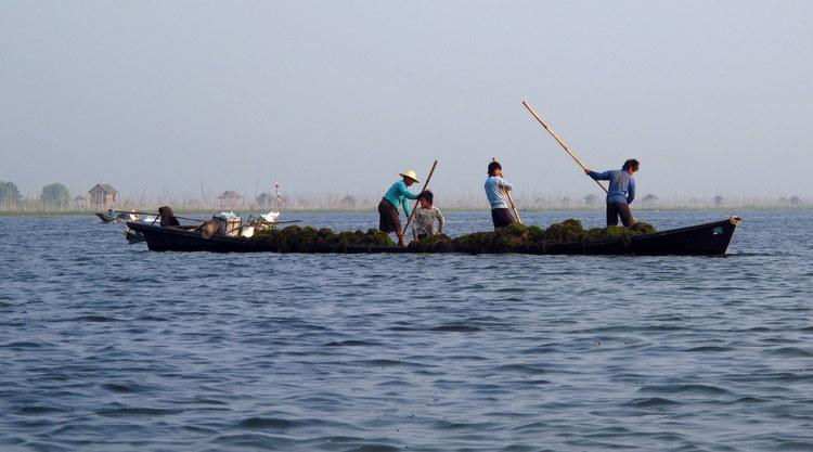 Seawood harvesting Inle Lake, Myanmar